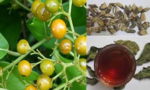 Trà xạ đen Hòa Bình có tác dụng rất tốt cho sức khỏe con người. Vì thế, người dùng nên mua đúng loại trà chất lượng.