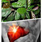 Cây xạ đen trị bệnh gì? Công dụng, cách dùng cây xạ đen tốt nhất
