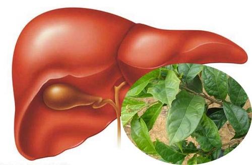 Cây xạ đen chữa bệnh gan rất hiệu quả