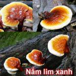 Bán nấm lim xanh ở đâu tại HCM? Giá nấm lim rừng bao nhiêu 1kg?