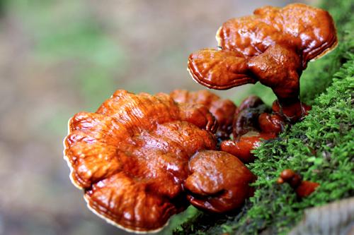 Công dụng chữa bệnh của nấm lim xanh rừng được áp dụng trong nhiều bài thuốc Đông y