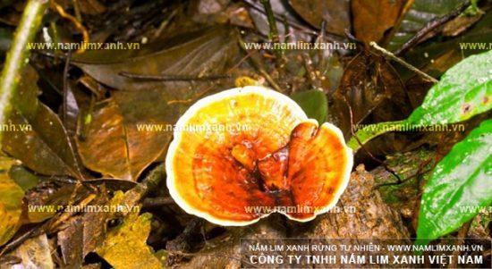 Công dụng của nấm lim xanh Nông Lâm tác dụng nấm lim rừng Nông Lâm
