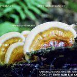 Giá bán nấm lim xanh Tiên Phước nơi mua nấm lim rừng HN và HCM