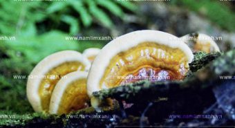Giá bán nấm lim xanh Tiên Phước - Mua nấm lim rừng tại HN và HCM