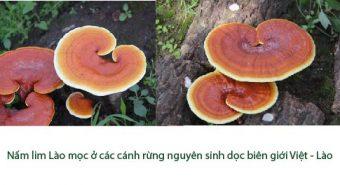 Giá nấm lim xanh Lào bao nhiêu 1kg? Địa chỉ bán nấm lim rừng ở Hà Nội