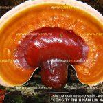 Giá nấm lim xanh Lào bao nhiêu 1kg địa chỉ bán nấm lim rừng Hà Nội