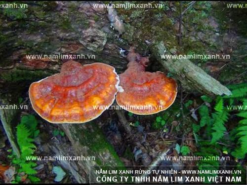 Hình ảnh cây nấm lim xanh trị bệnh ung thư trong tự nhiên