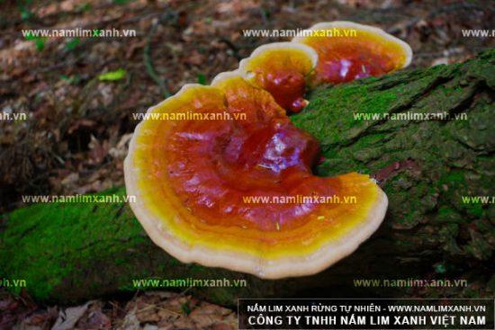 Hình ảnh nấm lim xanh rừng Quảng Nam trong tự nhiên