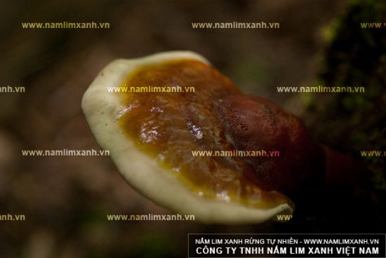 Cách sắc nấm lim rừng giúp hỗ trợ điều trị bệnh ung thư phổi
