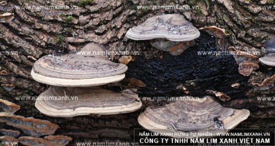 Hình ảnh vềnấm lim xanh Quảng Nam chính gốc