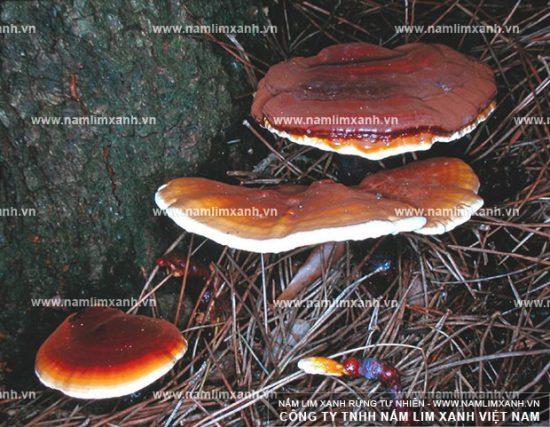 Hình ảnh về nấm lim xanh tự nhiên Quảng Nam