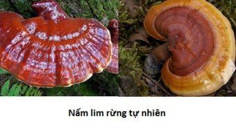 Công dụng nấm lim xanh Quảng Nam và hình ảnh nấm lim rừng tự nhiên