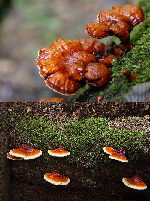 Hình ảnh nấm lim xanh loại 1 trong tự nhiên