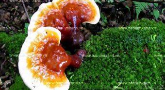 Nấm lim xanh nông lâm là gì với công dụng của nấm lim xanh rừng