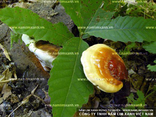 Nấm lim xanh Nông Lâm là gì và nấm lim xanh Nông Lâm mọc ở đâu?