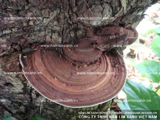 Nấm lim xanh rừng Lào có đặc điểm, công dụng giống với nấm lim xanh rừng tự nhiên.