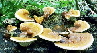 Nấm lim xanh wiki thành phần dược chất nguồn gốc nấm lim rừng