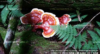 Hình ảnh nấm lim xanh tự nhiên: Nhận biết nấm lim xanh thật – giả