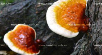 Sử dụng nấm lim xanh trị bệnh hiệu quả tác dụng nấm lim xanh rừng