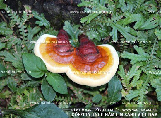 Tác dụng chữa bệnh của nấm lim xanh